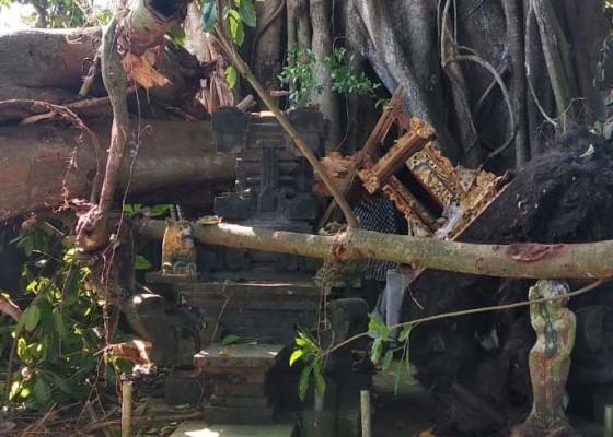 Nusabali.com - pohon-tumbang-timpa-pura-dalem-tungkub