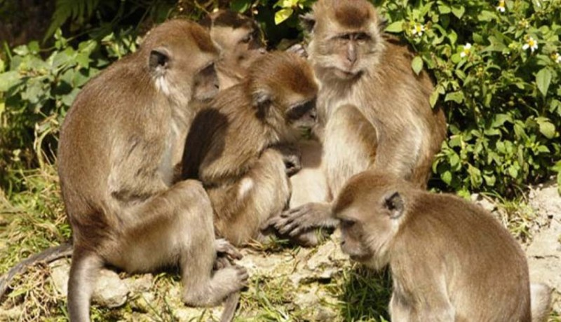 www.nusabali.com-monyet-liar-serang-dan-lempar-bayi