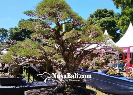 Nusabali.com - lomba-bonsai-gianyar-berkelas-nasional