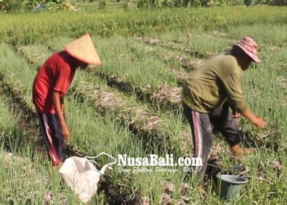Nusabali.com - dinas-pertanian-lakukan-pengembangan-kawasan