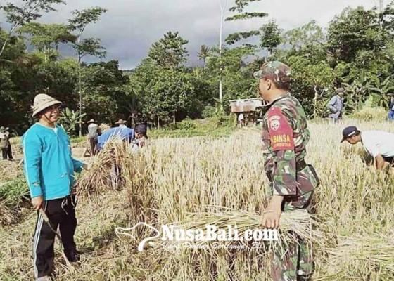 Nusabali.com - panen-padi-bersama-tni-di-subak-ganggangan