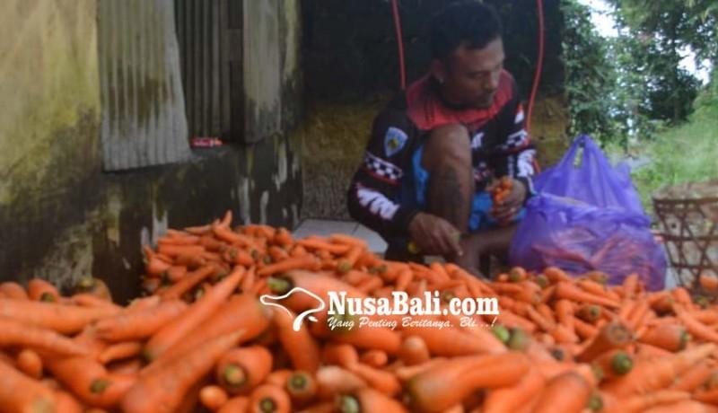 www.nusabali.com-paparan-abu-vulkanik-gunung-agung-tidak-pengaruhi-tanaman-wortel