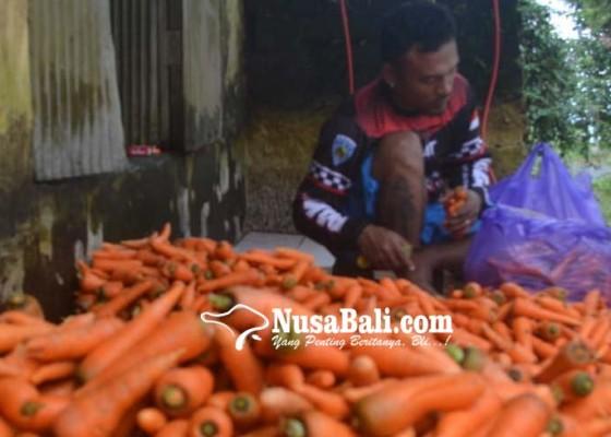 Nusabali.com - paparan-abu-vulkanik-gunung-agung-tidak-pengaruhi-tanaman-wortel
