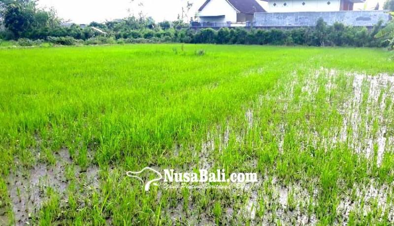 www.nusabali.com-padi-diserang-hama-wereng-petani-terancam-rugi