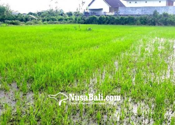 Nusabali.com - padi-diserang-hama-wereng-petani-terancam-rugi