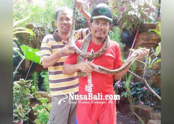 Nusabali.com - relawan-rapi-tangkap-ular-piton-panjang-3-meter