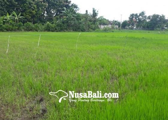 Nusabali.com - padi-meranggas-disinyalir-akibat-kelebihan-herbisida
