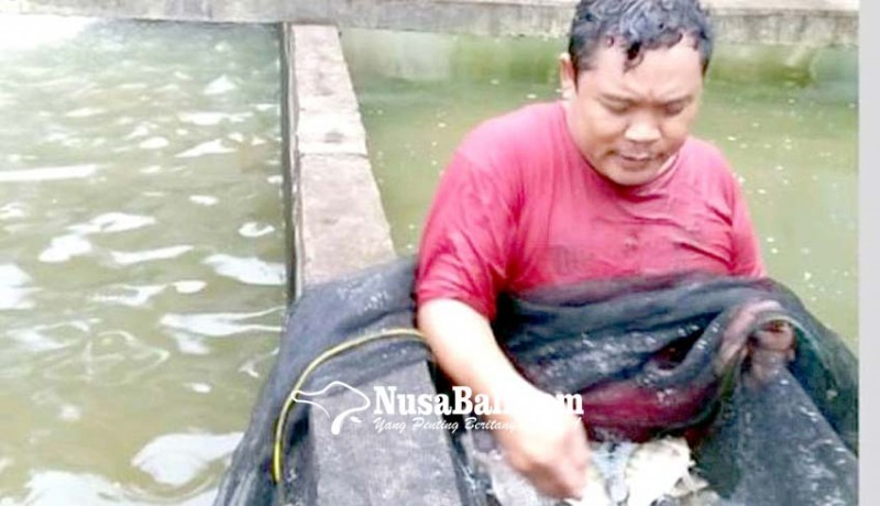 www.nusabali.com-menjanjikan-budidaya-ikan-tawar-di-buleleng