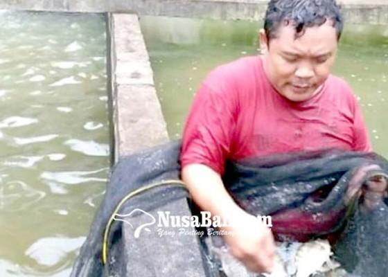 Nusabali.com - menjanjikan-budidaya-ikan-tawar-di-buleleng
