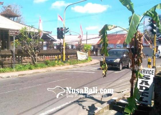 Nusabali.com - kaling-gunaksa-berkebun-pisang-di-trotoar-erlangga
