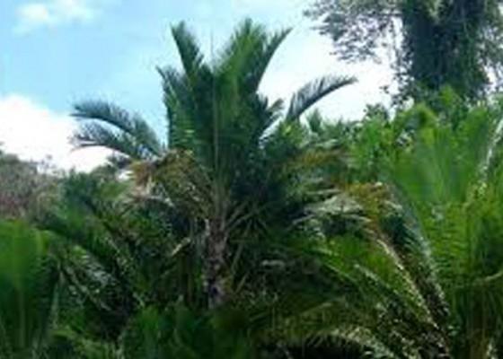 Nusabali.com - saba-dawan-terdaftar-di-kementerian-pertanian