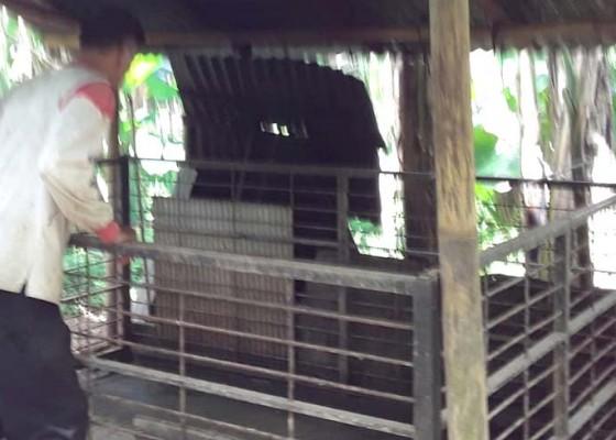 Nusabali.com - peternak-pindahkan-kandang-babi