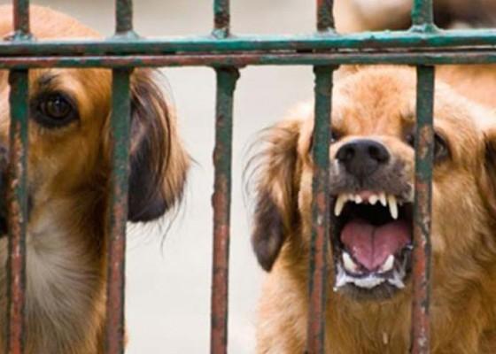 Nusabali.com - 11-ekor-anjing-di-akah-dieliminasi