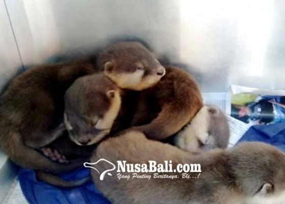 Nusabali.com - penyelundupan-berang-berang-ke-rusia-digagalkan