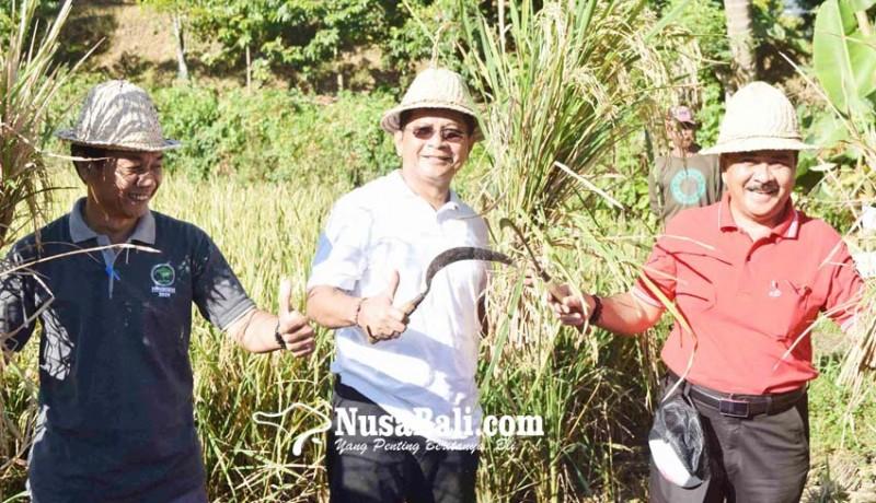 www.nusabali.com-varietas-padi-m400-puaskan-subak-gede-padangbulia