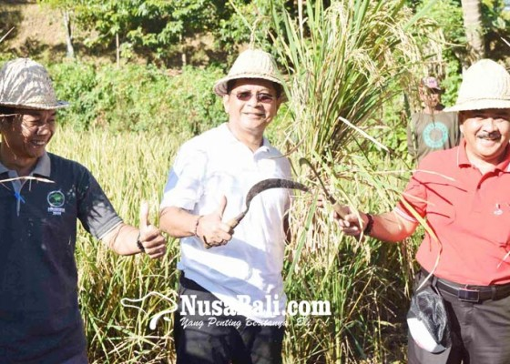 Nusabali.com - varietas-padi-m400-puaskan-subak-gede-padangbulia