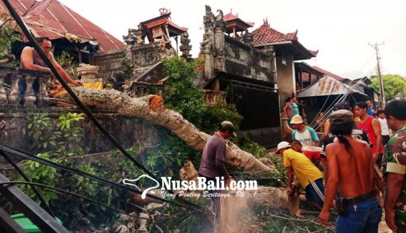 www.nusabali.com-pohon-keramat-pura-desa-bila-timpa-palinggih