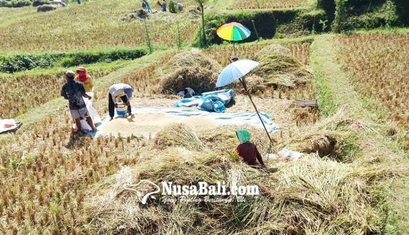 www.nusabali.com-petani-padi-ngekoh-ikut-asuransi