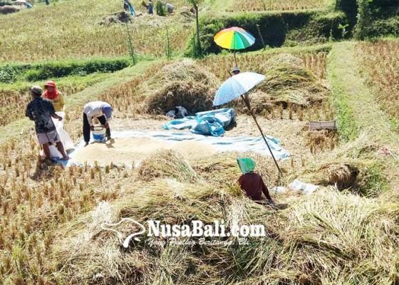 Nusabali.com - petani-padi-ngekoh-ikut-asuransi