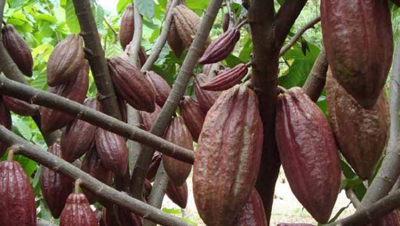 www.nusabali.com-koperasi-kakao-jembrana-tembus-pasar-global