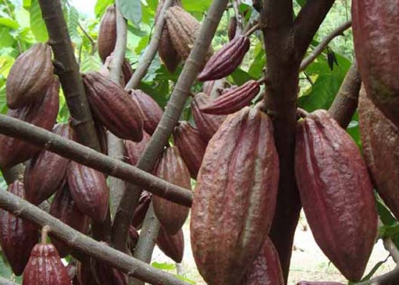 Nusabali.com - koperasi-kakao-jembrana-tembus-pasar-global