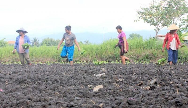 www.nusabali.com-petani-tembakau-dibantu-30-hektare