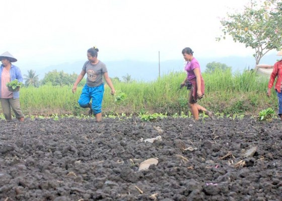 Nusabali.com - petani-tembakau-dibantu-30-hektare
