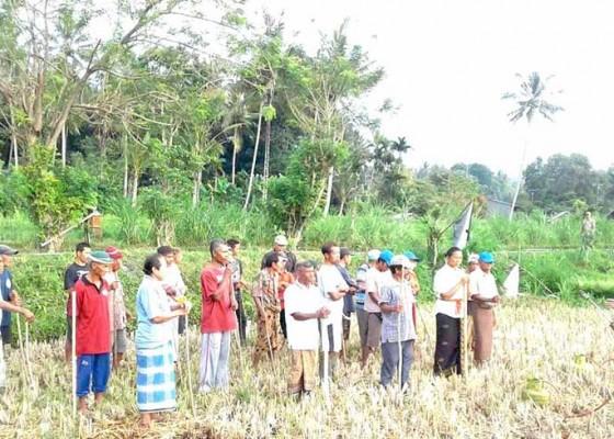 Nusabali.com - krama-subak-bekukih-maboros-bikul