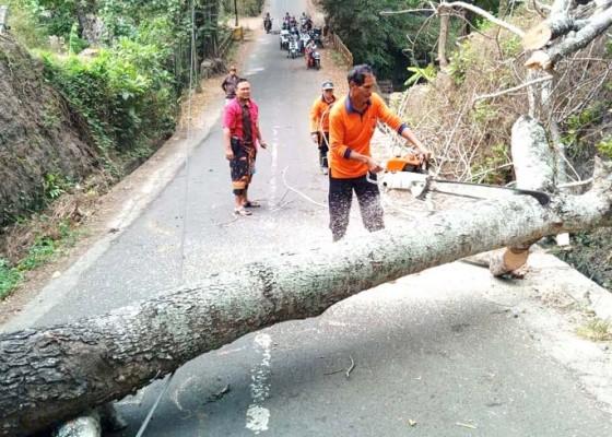 Nusabali.com - pohon-kayu-santen-tumbang-jalur-bedha-sempat-tersendat