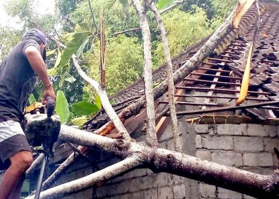 Nusabali.com - pohon-taep-timpa-rumah-dan-paud