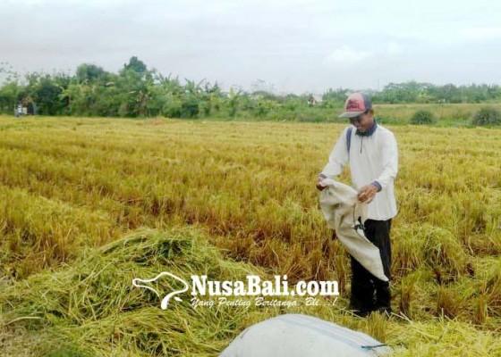 Nusabali.com - produktivitas-padi-jembrana-tertinggi-di-bali
