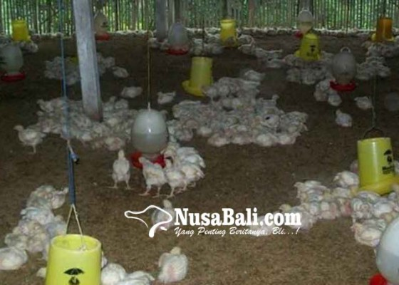 Nusabali.com - ribuan-ayam-mati-terserang-virus-nd