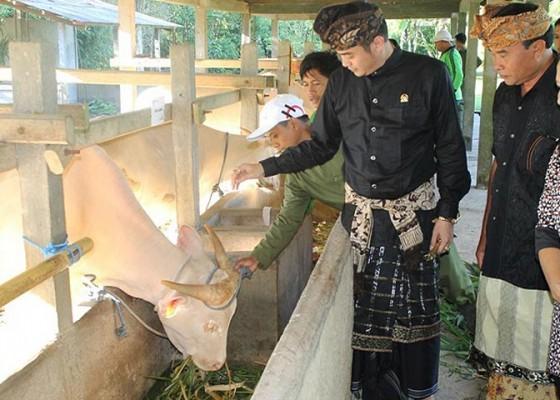 Nusabali.com - festival-siwa-nandini-dan-ganesha-caturthi-digelar-besok-wedakarna-datangkan-9-lembu-putih-dari-desa-taro