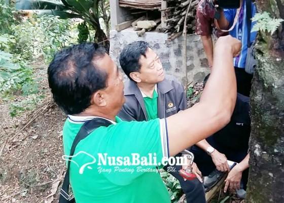 Nusabali.com - jamur-akar-putih-masih-serang-cengkih-di-buleleng