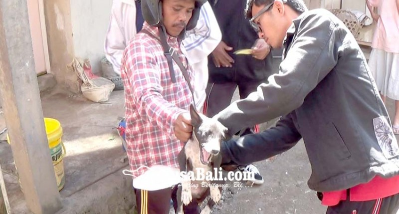 www.nusabali.com-petugas-eliminasi-25-ekor-anjing-di-kelurahan-banjar-tengah