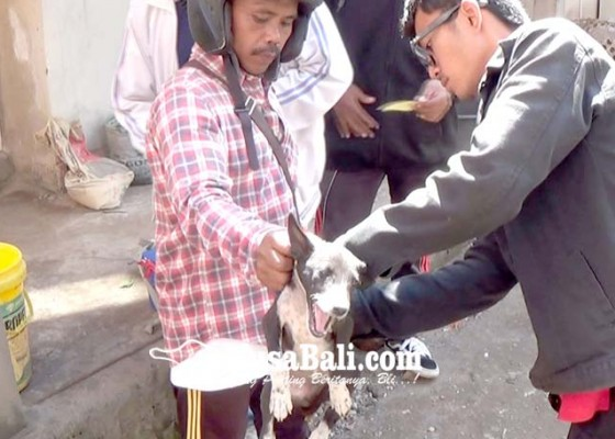 Nusabali.com - petugas-eliminasi-25-ekor-anjing-di-kelurahan-banjar-tengah