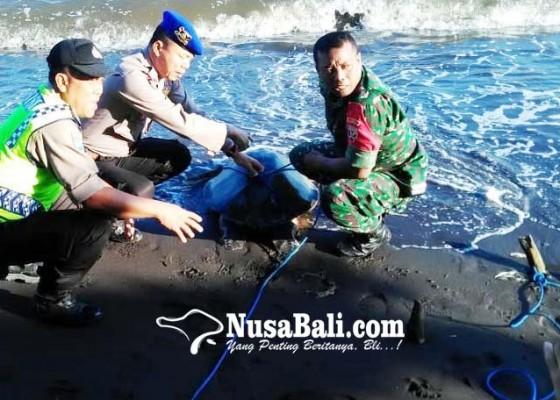 Nusabali.com - penyu-lekang-terdampar-di-pantai-penarukan