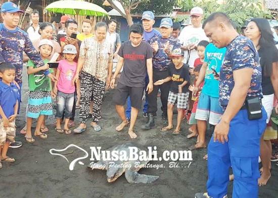 Nusabali.com - penyu-terdampar-dikembalikan-ke-habitatnya