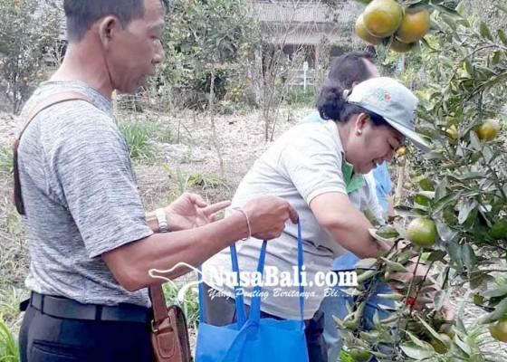 Nusabali.com - krama-banjar-palak-kembangkan-objek-wisata-jeruk-madu