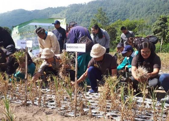 Nusabali.com - bali-potensial-jadi-pemasok-bawang-putih
