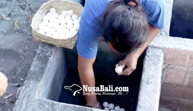 www.nusabali.com-yowana-bhakti-segara-selamatkan-158-telur-penyu