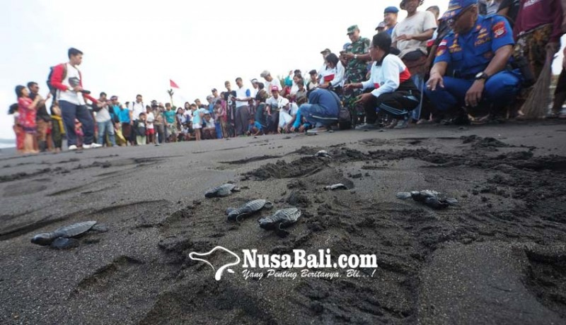 www.nusabali.com-80-ekor-tukik-dilepas-di-pantai-tegalbesar