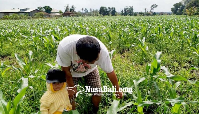 www.nusabali.com-diserang-hama-petani-mengulang-tanam-jagung