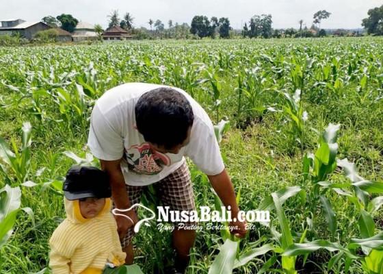 Nusabali.com - diserang-hama-petani-mengulang-tanam-jagung