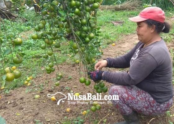 Nusabali.com - harga-jeruk-anjlok-petani-kelimpungan
