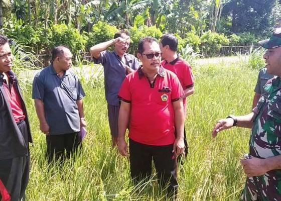 Nusabali.com - belasan-hektare-padi-di-manistutu-terncanam-gagal-panen