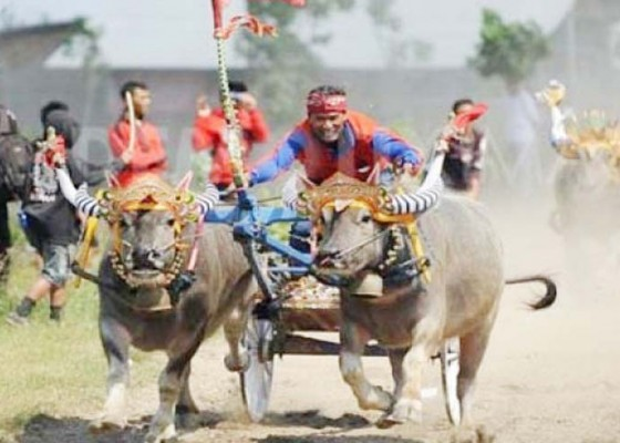 Nusabali.com - makepung-dijadikan-atraksi-pariwisata-bali