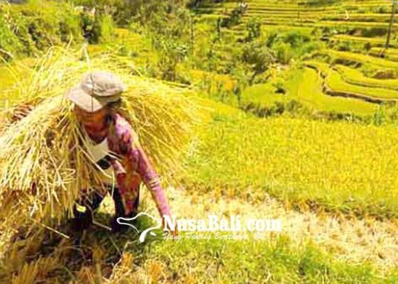 Nusabali.com - lahan-sawah-rusak-akibat-pupuk-kimia