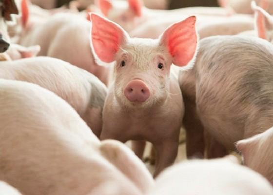 Nusabali.com - pasokan-babi-galungan-capai-12300-ekor