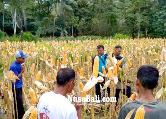 Nusabali.com - edukasi-petani-dinas-pertanian-buat-demplot-jagung